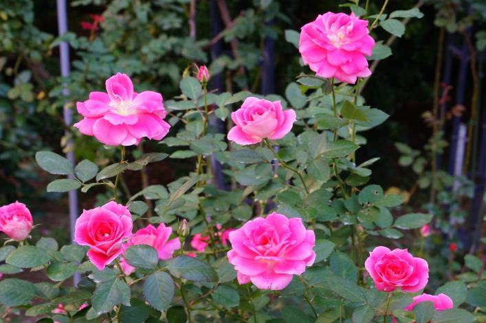 圖7、玫瑰品種:綺麗無憂-法國.JPG