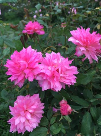 圖9、玫瑰品種:Miss Caroline.JPG