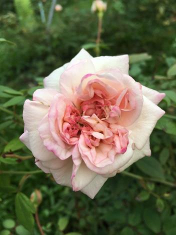圖10、玫瑰品種:勤和月季.JPG