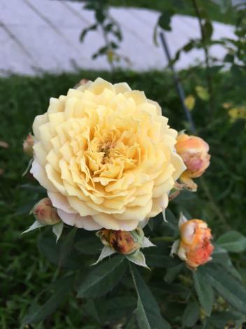 圖8、玫瑰品種:Jeri jennings.JPG