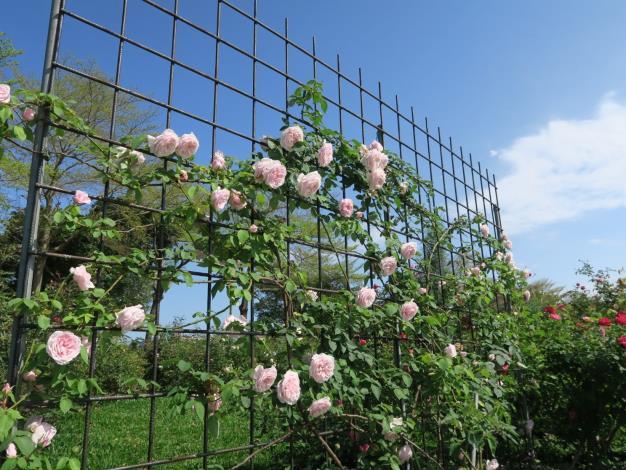 圖7、茶玫瑰網架栽培。