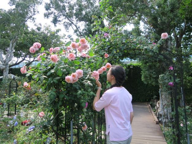 圖2、嬌嫩的玫瑰花散發淡淡香氣。