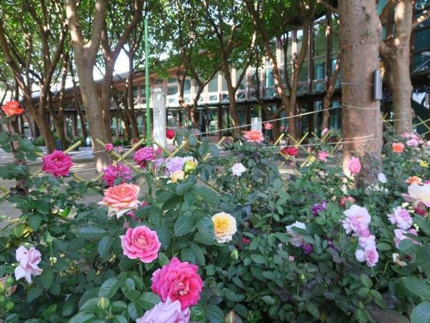 圖10、天使生活館前玫瑰花綻放。