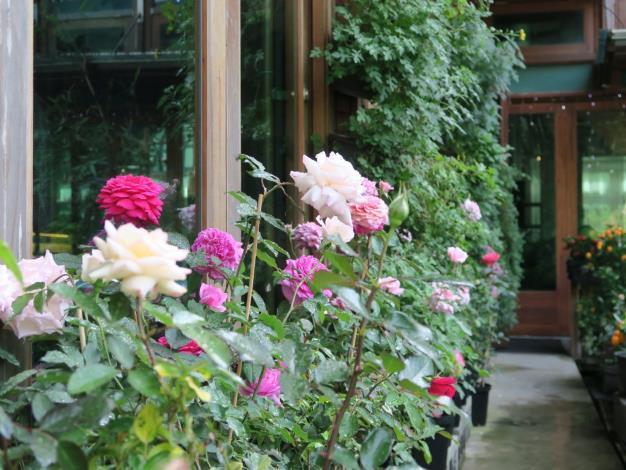 圖12、天使生活館旁玫瑰花走道。