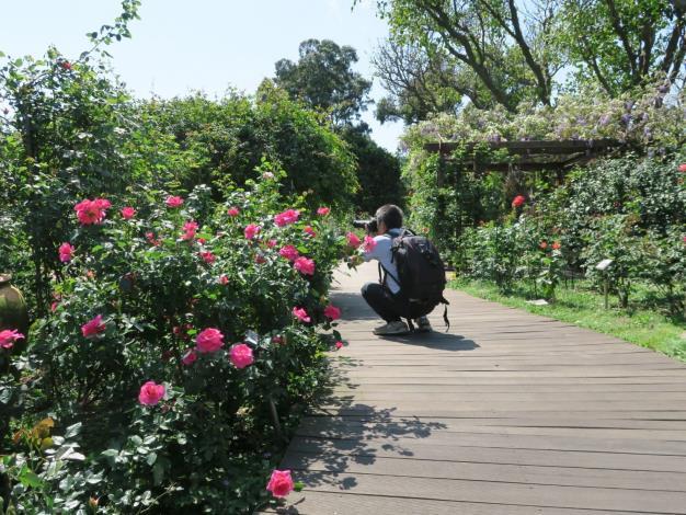 圖3、玫瑰愛好者專注於玫瑰園攝影。
