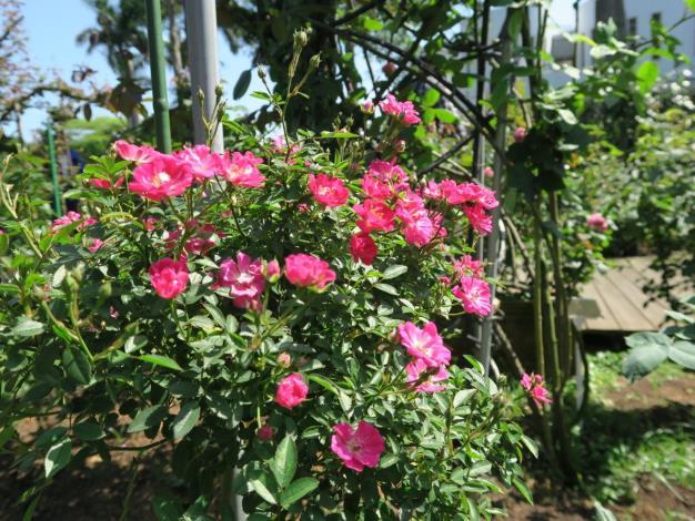 圖6、玫瑰花品種-粉冰。