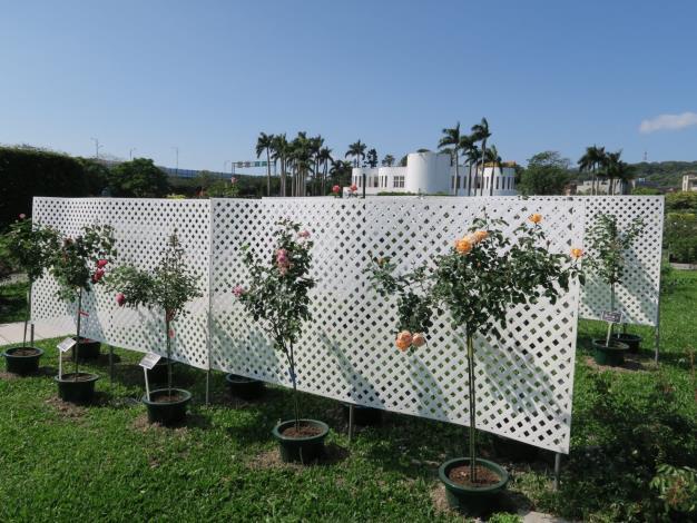 圖8、樹玫瑰品種展示。