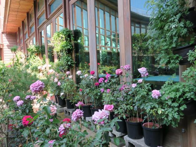 圖11、天使生活館旁之玫瑰花盆栽。