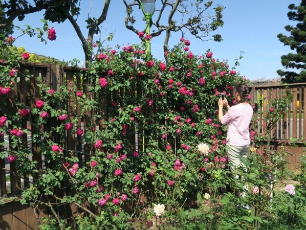 圖5、玫瑰紫燕飛舞。