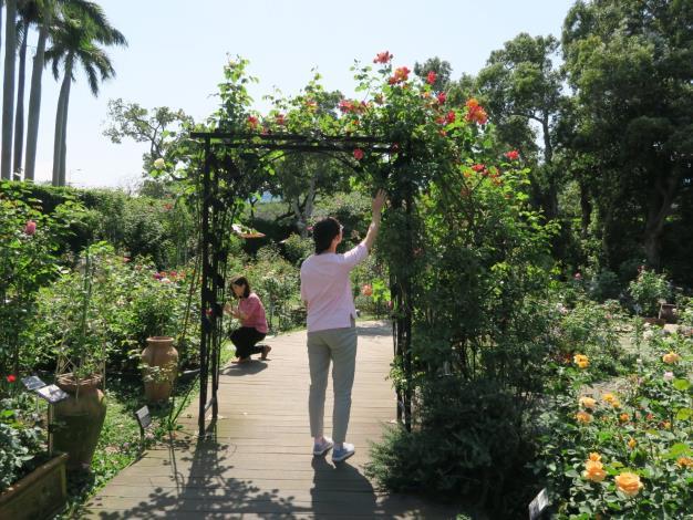 圖4、遊客佇足於臺北玫瑰園賞花。