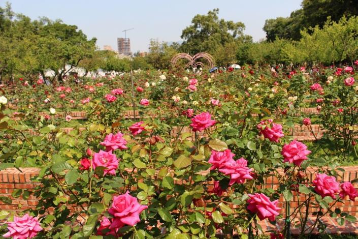圖3.士林官邸玫瑰園9成玫瑰花朵綻放[開啟新連結]