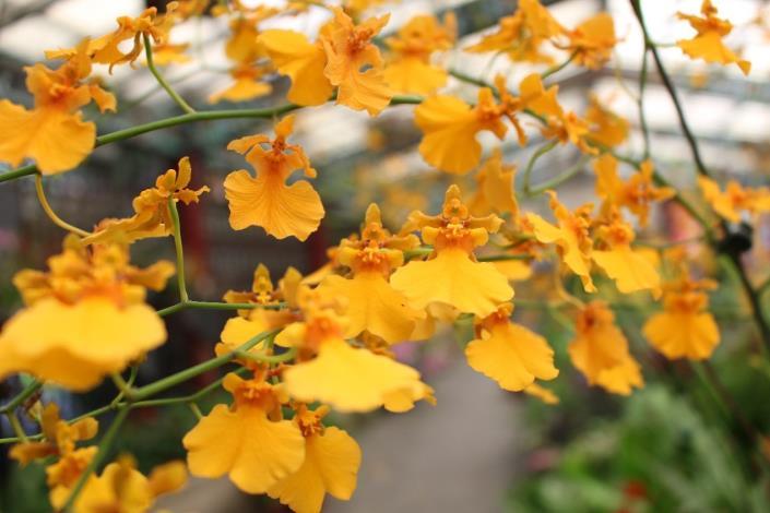 圖4. 萼瓣黃帶橘有如太陽一般耀眼無比的「金太陽文心蘭」