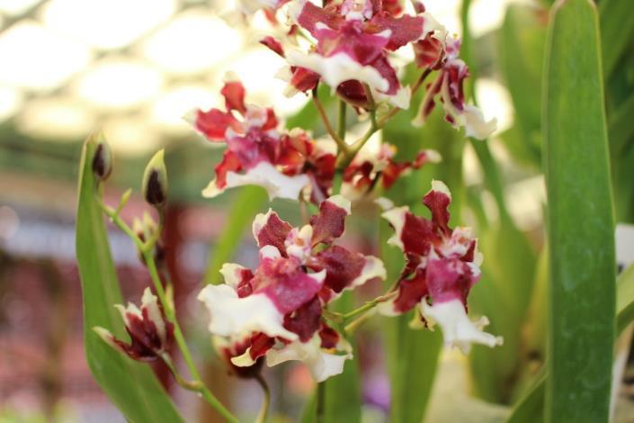 圖8. 花色紅白對比鮮明、帶有淡淡巧克力香味的「天香文心蘭」