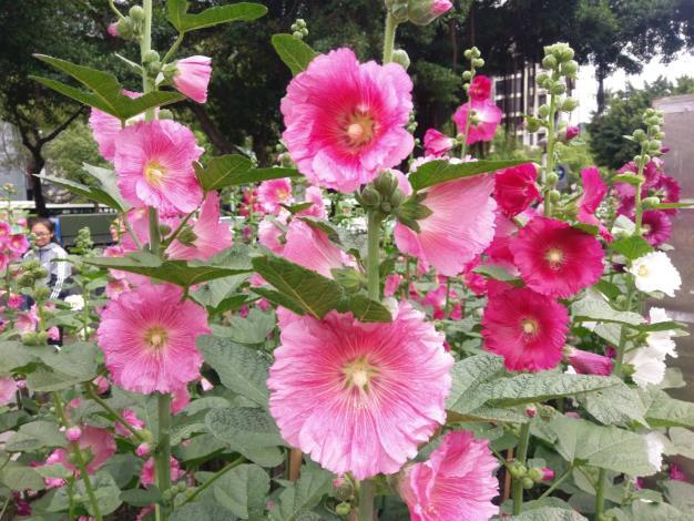 圖5.大瓣花朵色彩鮮豔超級吸睛[開啟新連結]