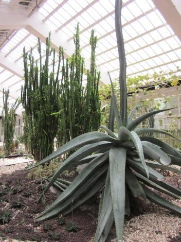 巨型龍舌蘭及仙人掌