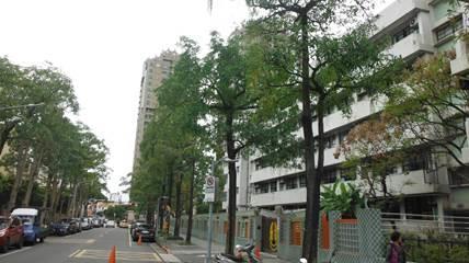 圖5.未修剪黑板樹高聳茂密,枝條容易折斷有發生公共安全之虞[開啟新連結]
