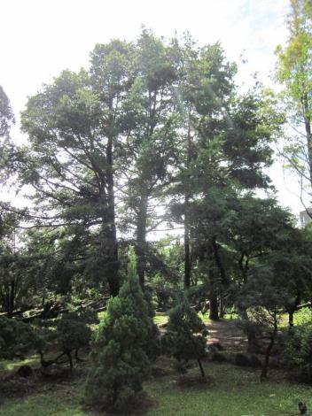 珍貴稀有植物-臺灣油杉