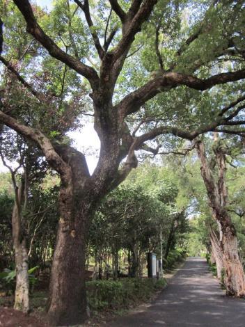 園區門口巨大老樟樹