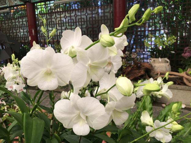 圖5.「白雪石斛蘭」像個白色的小天使