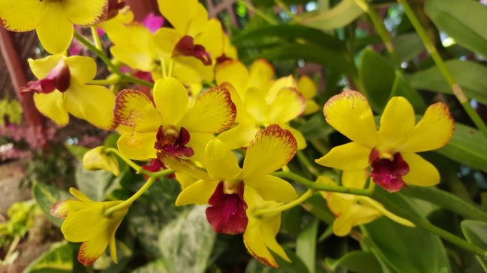 圖7.「黃后石斛蘭」與「黃花石斛蘭」為父親之花的象徵