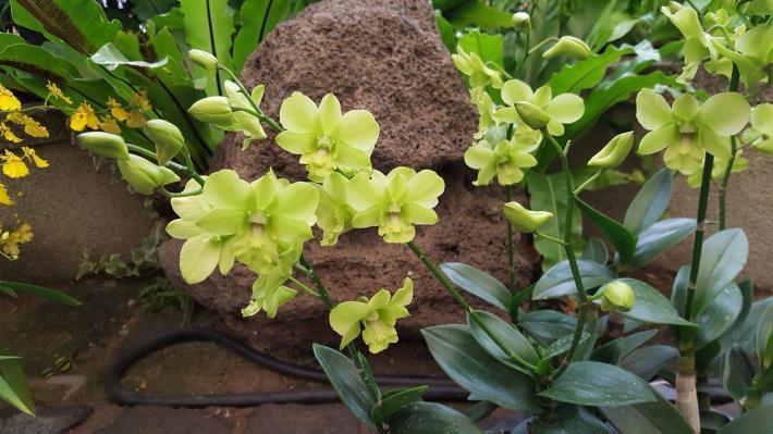 圖4. 「翡翠石斛蘭」呈現綠色的清新之美[開啟新連結]