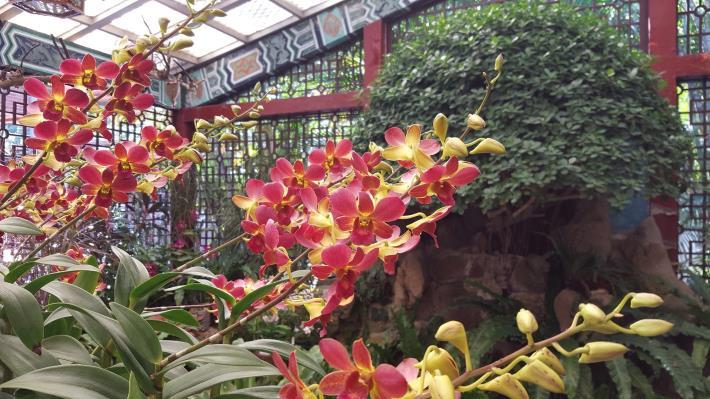 圖8.「紅鑽石石斛蘭」呈現如紅鑽石般的艷麗色彩