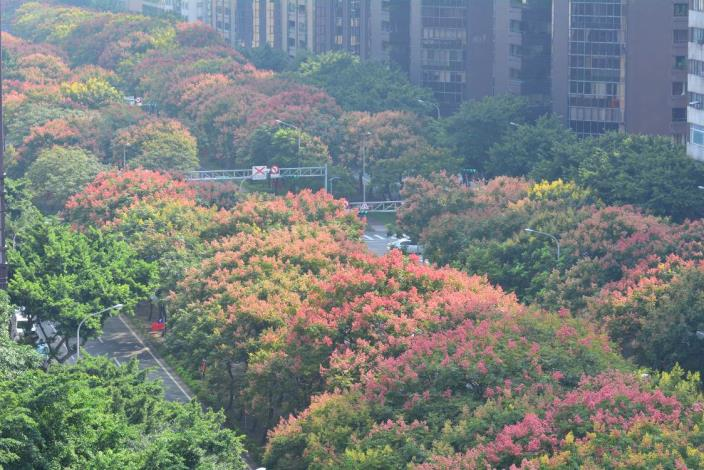 (圖3) 樹姿優美、色彩變化豐富、耐旱及抗污染是臺灣欒樹優點[開啟新連結]