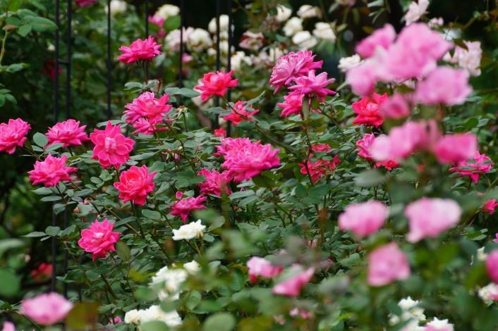 圖6、參考畫面盛開的玫瑰[開啟新連結]