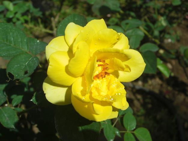 圖3、玫瑰品種柔美之黃[開啟新連結]