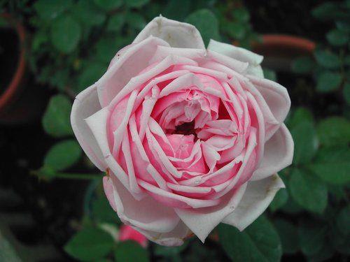 圖2、玫瑰品種一代佳人[開啟新連結]