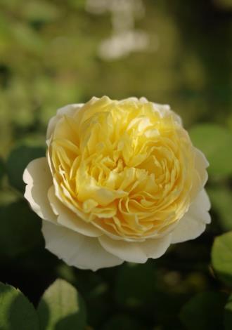 圖5、玫瑰品種夏洛特[開啟新連結]