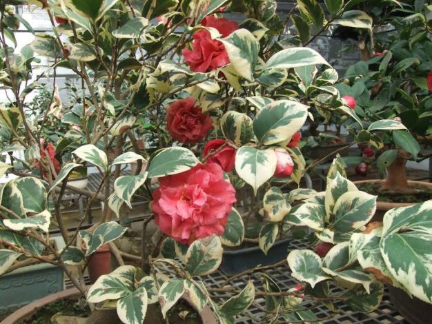 圖3.茶花品種彩葉紅露珍兼具色與香之美。[另開新視窗]