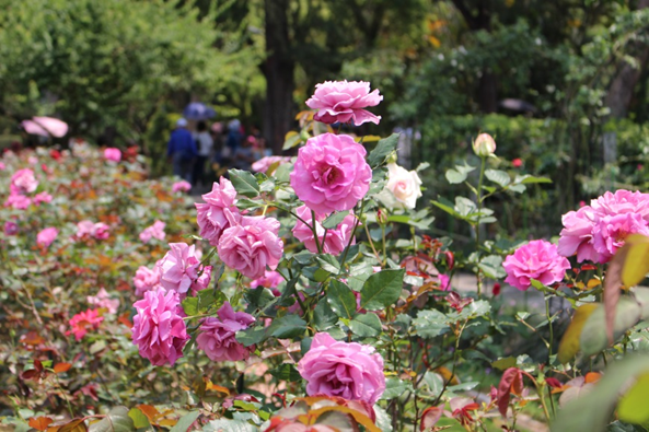 圖8.士林官邸品種玫瑰花盛開。[另開新視窗]