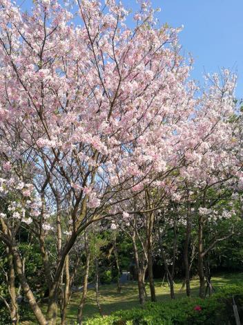 圖4. 花卉試驗中心-24年前坐飛機來的染井吉野櫻。[另開新視窗]