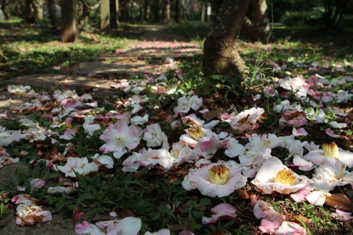 茶梅盛開時,樹下常常有一片美麗的花瓣地毯.JPG[開啟新連結]