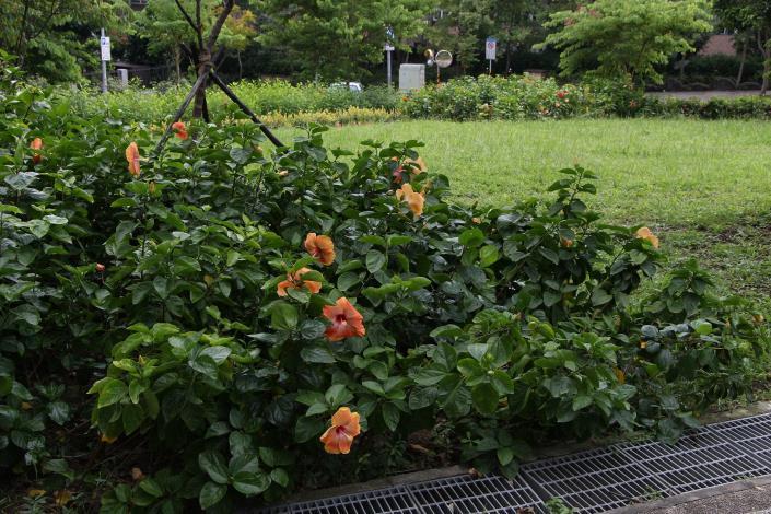 4.麗湖綠地的朱槿花不遑多讓。[開啟新連結]