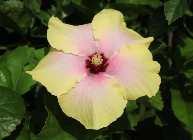 8.朱槿花-黃花紅心。[開啟新連結]
