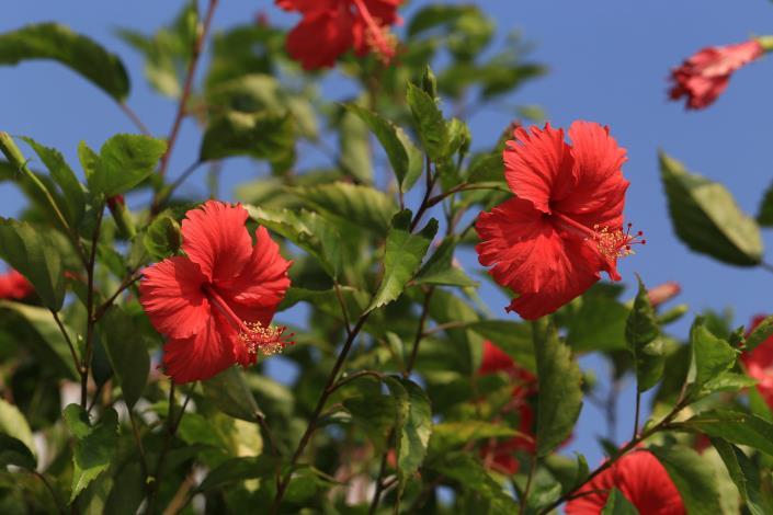 12.碧湖公園湖畔木棧道的朱槿花。[開啟新連結]