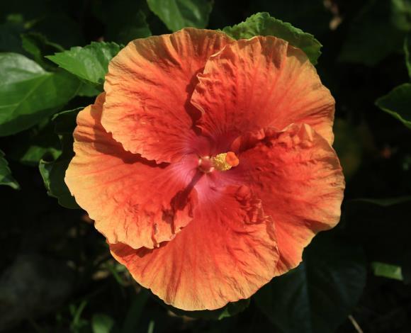 9.朱槿花-金橘色。[開啟新連結]