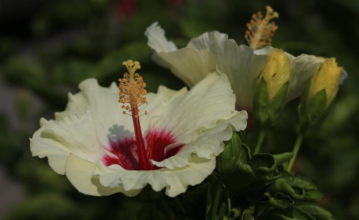 5.朱槿花-白花紅心。[開啟新連結]