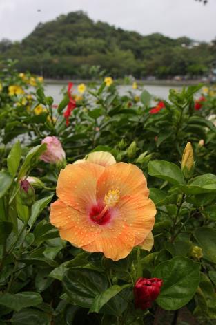 1.碧湖公園湖畔的朱槿花。[開啟新連結]