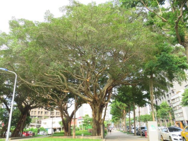 圖2莒光路的受保護榕樹枝葉較為稀疏.JPG[開啟新連結]
