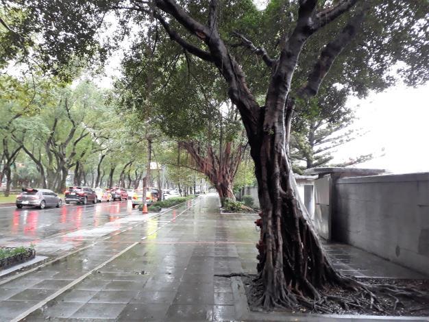 圖3仁愛路三段的榕樹的根系竄生至路面[開啟新連結]