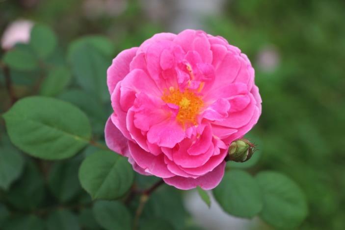 圖11、玫瑰品種聖斯法貝爾[開啟新連結]