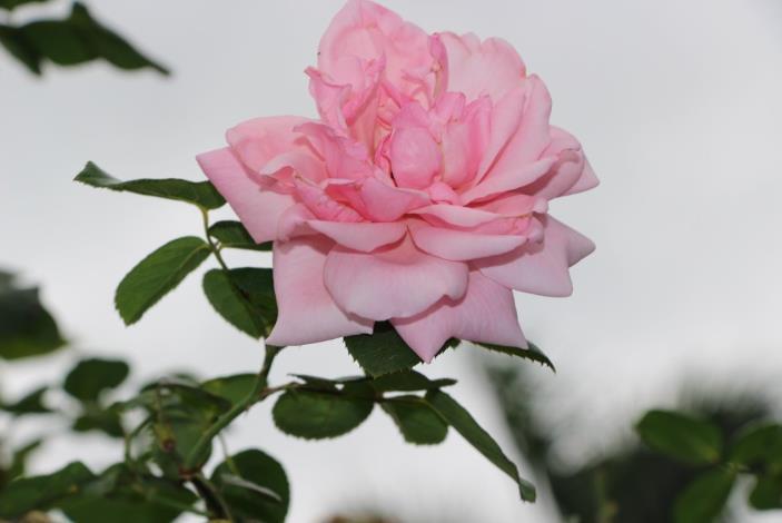 圖12、玫瑰品種羽衣[開啟新連結]