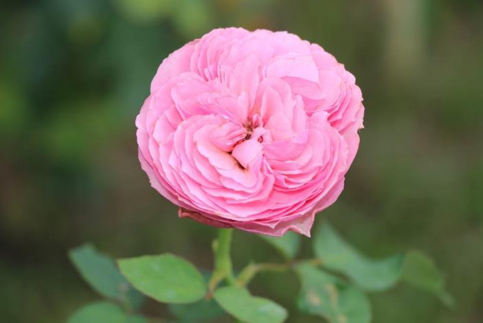 圖13、玫瑰品種小春[開啟新連結]