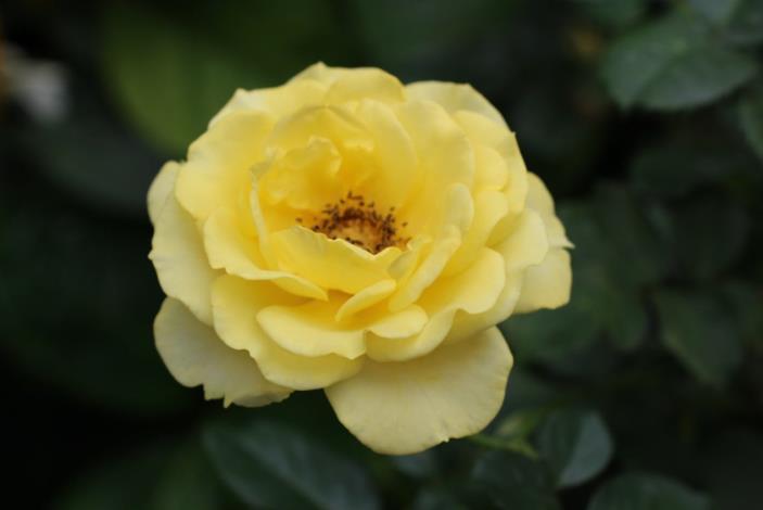 圖7、玫瑰品種漫步陽光[開啟新連結]
