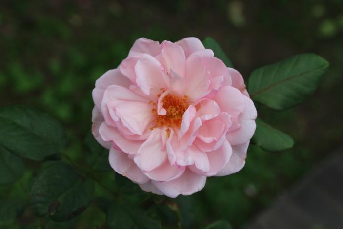 圖9、玫瑰品種聖埃澤布加[開啟新連結]