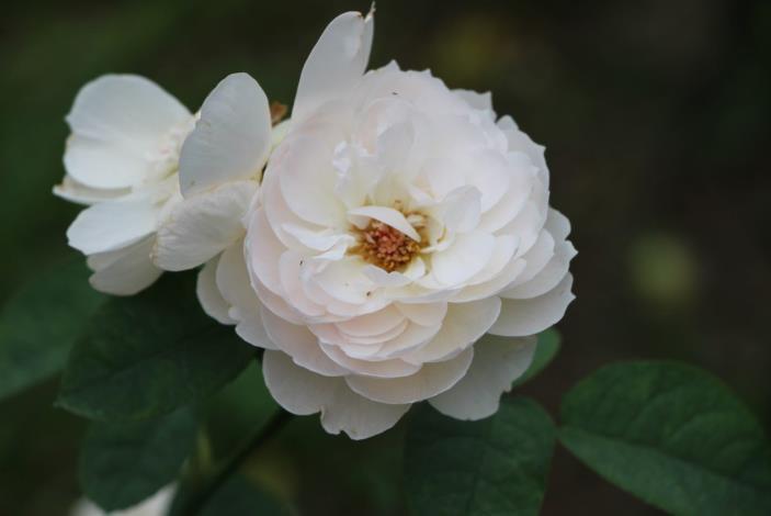 圖10、玫瑰品種優雅妙麗[開啟新連結]