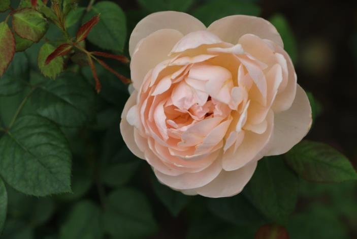 圖8、玫瑰品種安部姬[開啟新連結]